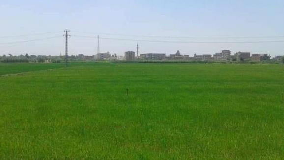 زراعة الشرقية تُنفذ يوم حصاد لحقل إرشادي مزروع بمحصول الأرز بقرية السُدس بمركز الإبراهيمية