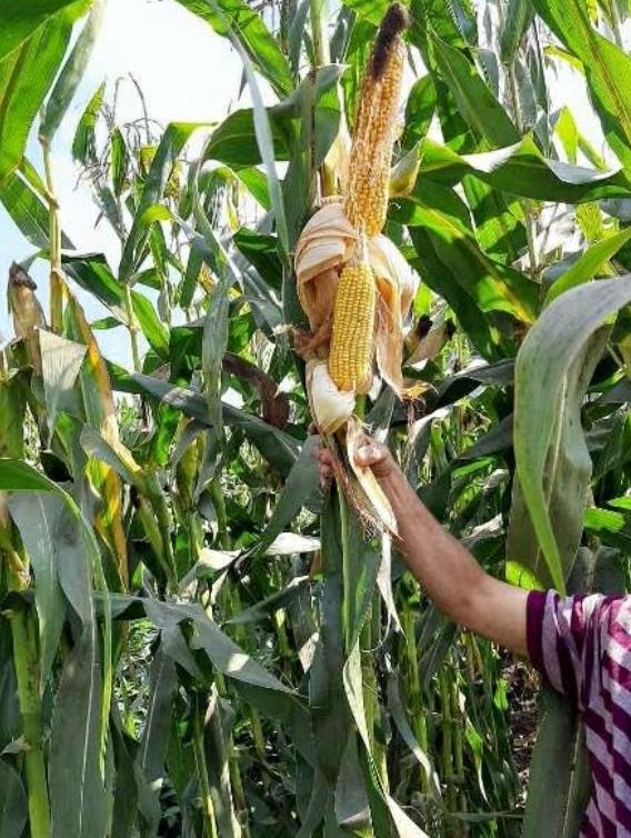 زراعة الشرقية تُنفذ يوم حقلي إرشادي لمحصول فول الصويا صنف جيزة 111 المحمل على الذرة بقرية الخضيري بههيا
